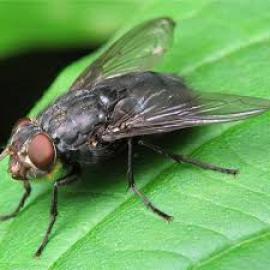 «Ген человеческого языка» обнаружили у мух