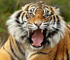 Поиски тигра, сбежавшего из зоопарка в Тбилиси, продолжаются