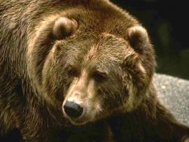 В Куре обнаружен мертвый медведь