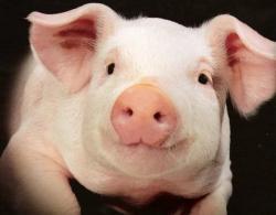 Омского фермера ради наживы напоили и скормили свиньям