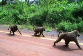 Бабуины в Зимбабве терроризируют дальнобольщиков.