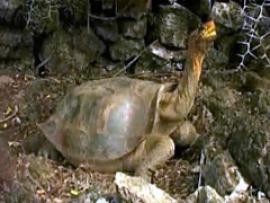 В Австралии хирурги зашили панцирь раненой черепахе