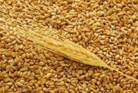 Пшеница дорожает на мировых рынках из-за опасений засухи в России
