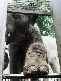 Слон в зоопарке Южной Кореи заговорил