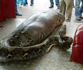 Питон задушил охранника отеля на Бали