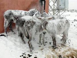 В Турции ослы от мороза превратились в стоячие ледяные статуи