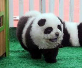 Итальянский цирк выдавал собак за панд
