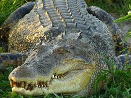 Житель Флориды убил пять крокодилов, чтобы закусить ими во время Суперкубка
