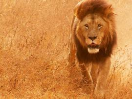 Лев убил гида в парке льва Сесила