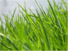 Обычная трава может избавить от прыщей